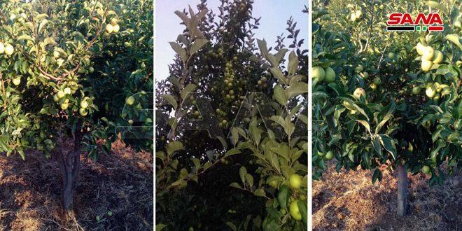 Утверждена компенсация за потерянный урожай яблок в провинции Сувейда