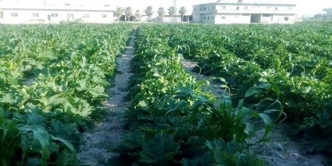 More than 106 thousand tons of Summer vegetables production in Damascus countryside estimated